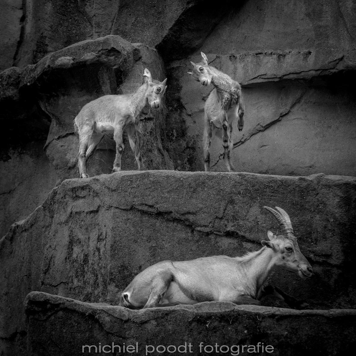 Capra ibex II