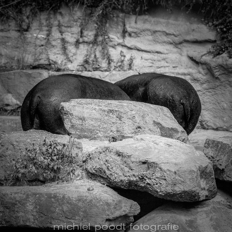 Hippopotamus amphibius IV