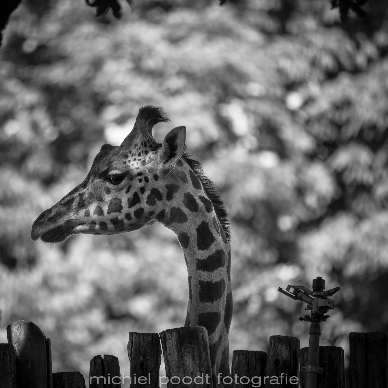 Giraffa camelopardalis reticulata IX
