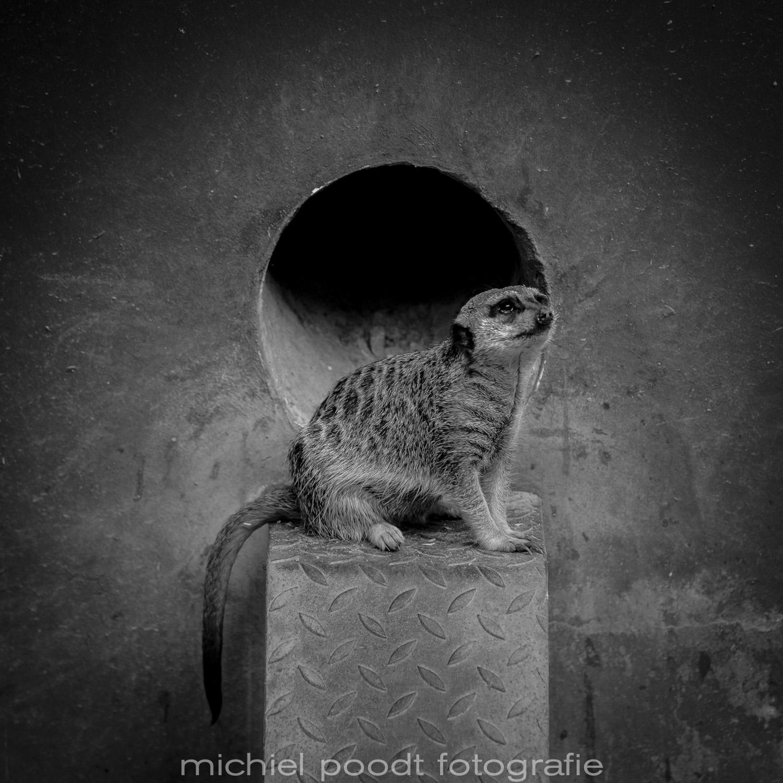 Suricata suricatta I