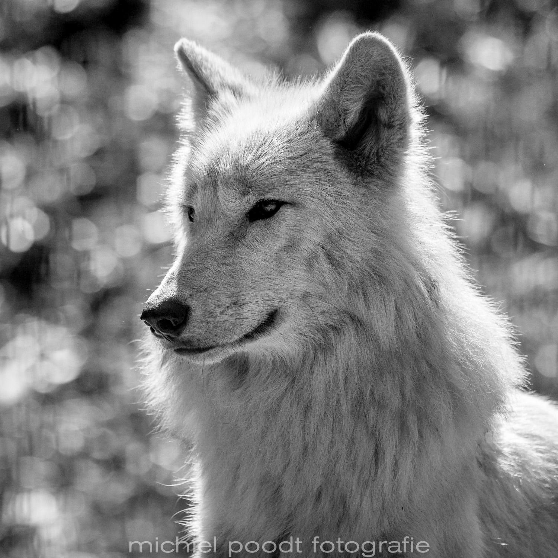 Canis lupus hudsonicus II