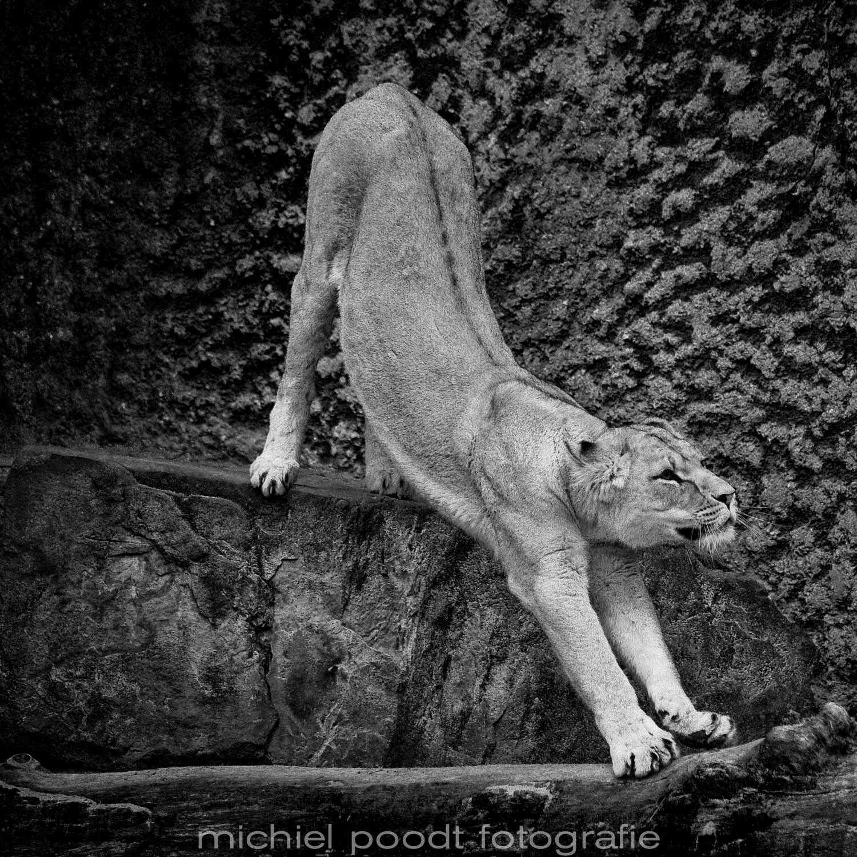 Panthera leo leo II