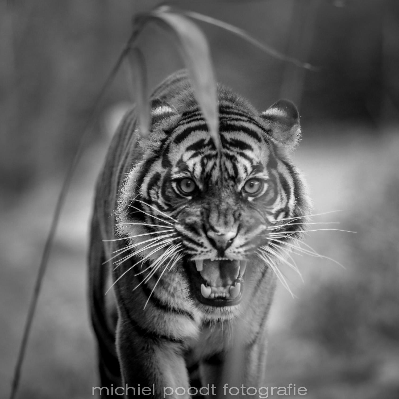Panthera tigris sumatrae III