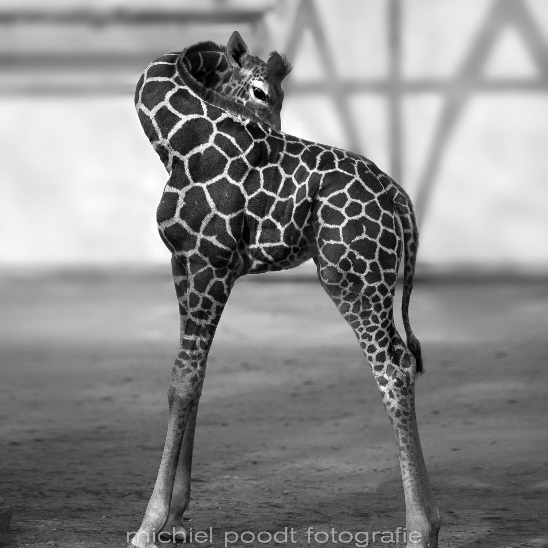 Giraffa camelopardalis reticulata XIV