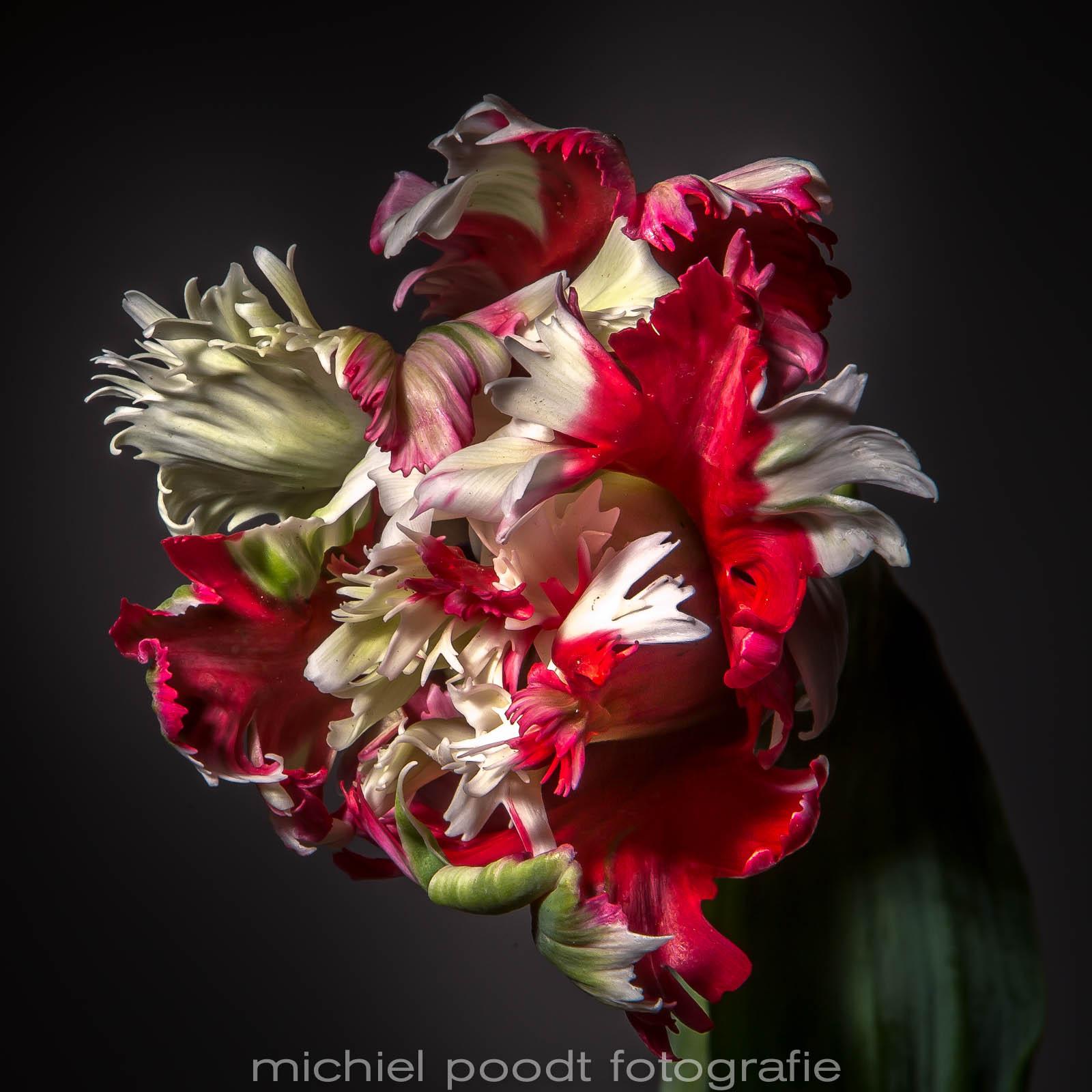 tulipa parrot estella rijnveld