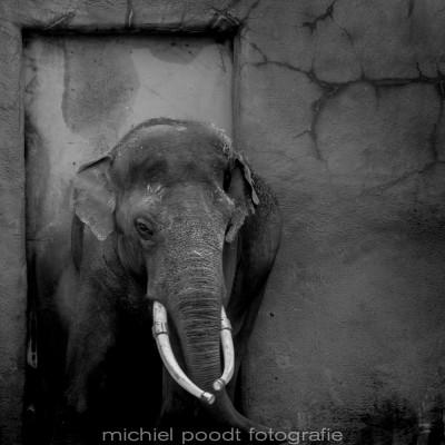 Elephas maximus VI