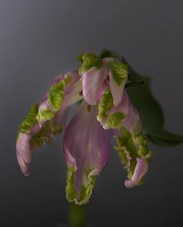 nieuwe tulpen II